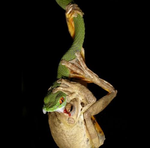 Snake+snacking+on+frog+%2528Jeremy+Holden%2529.jpg