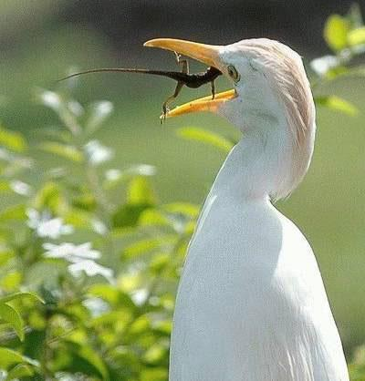Lizard+in+stork+beak.jpg