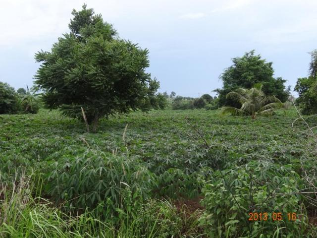 Cassava+farm+in+Pailin.jpg